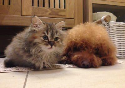barboncino-e-gatto