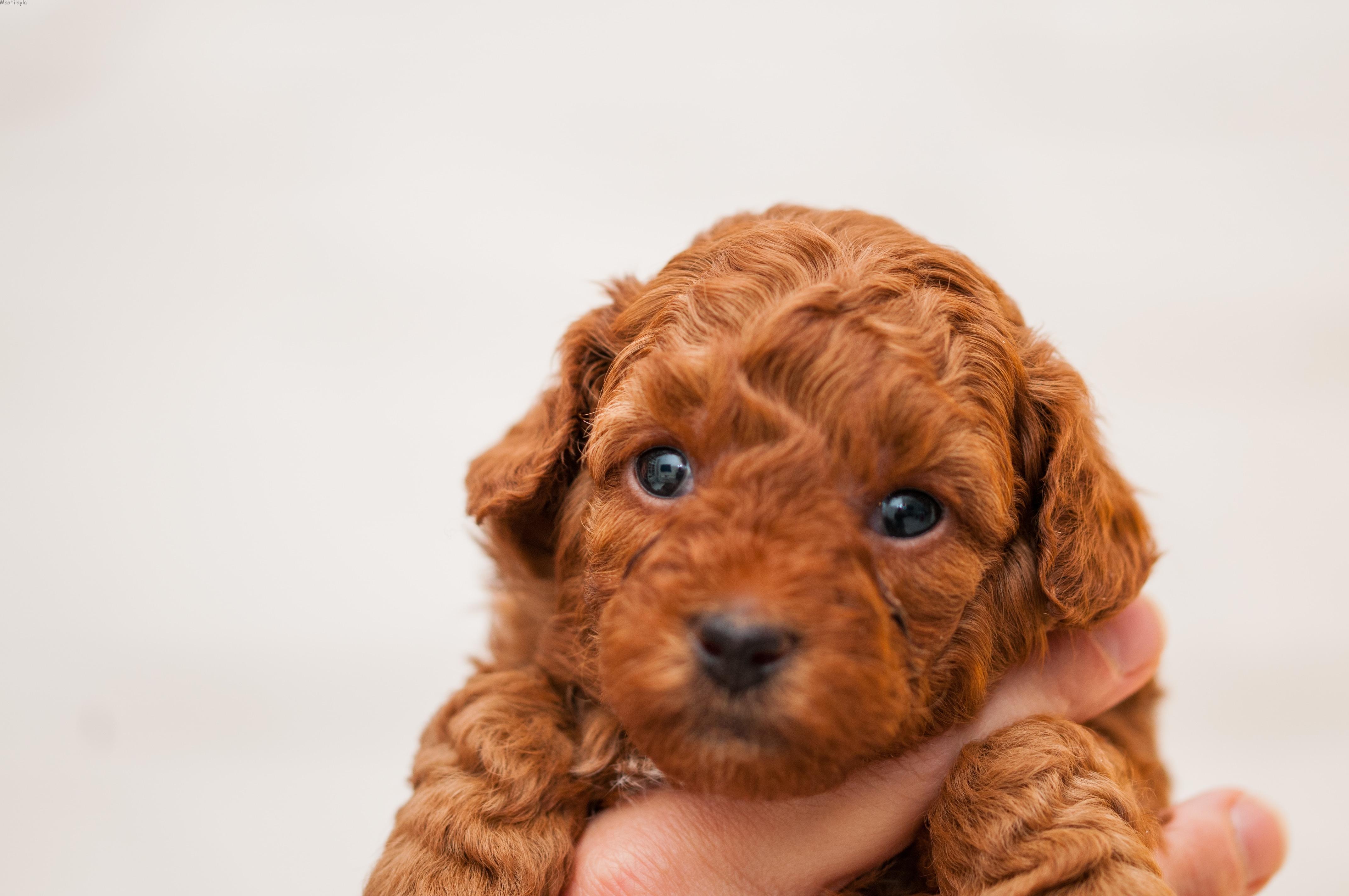 cucciolo di barboncino toy rosso dell'allevamento Maatilayla