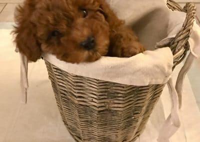 barboncino rosso dentro una cesta