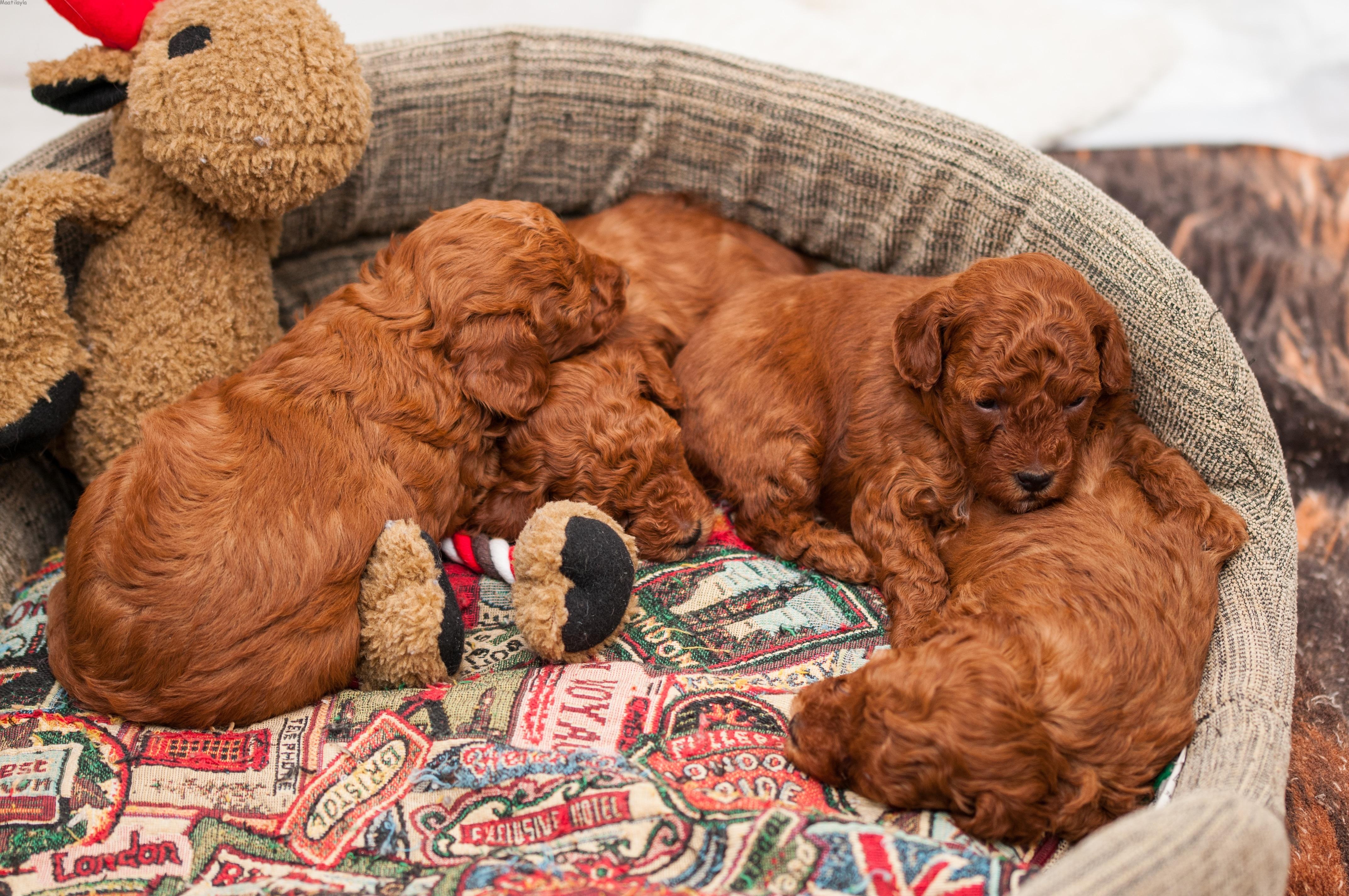 cuccioli di barboncino toy red dell'allevamento Maatilayla