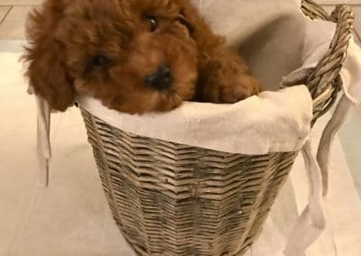 cucciolo-barboncino-nella-cesta