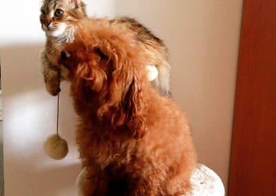 gatto e barboncino toy sopra al tiragraffi