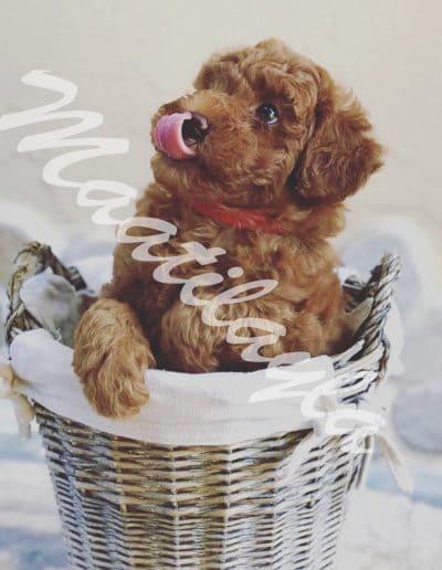 cucciolo di barboncino toy rosso dell'allevamento Maatilayla dentro una cesta