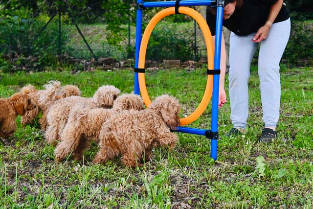 barboncini toy dell'allevamento Maatilayla in un campo di agility