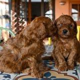 cuccioli di barboncino toy rosso dell'allevamento Maatilayla mentre si baciano