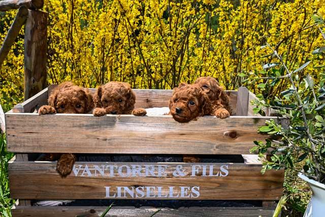 cuccioli di barboncino toy rosso dell'allevamento Maatilayla dentro una cesta