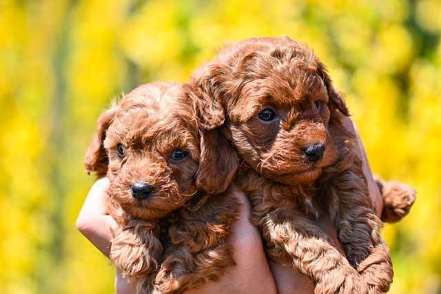 cuccioli di barboncino toy rosso dell'allevamento Maatilayla