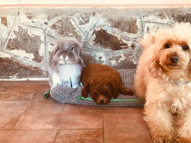 cucciolo barboncino toy rosso dell'allevamento Maatilayla con coniglio
