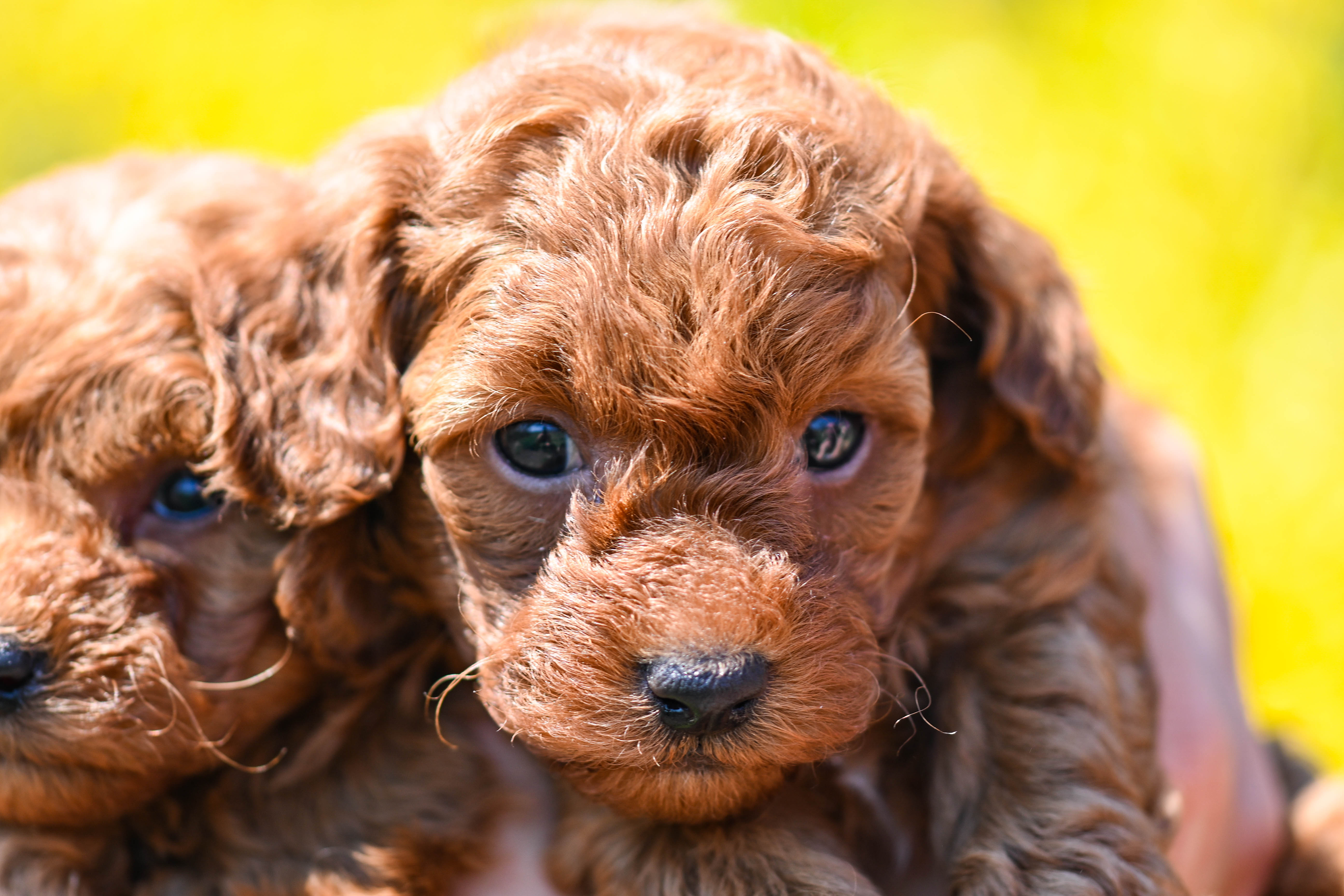 cucciolo barboncino toy rosso dell'allevamento Maatilayla