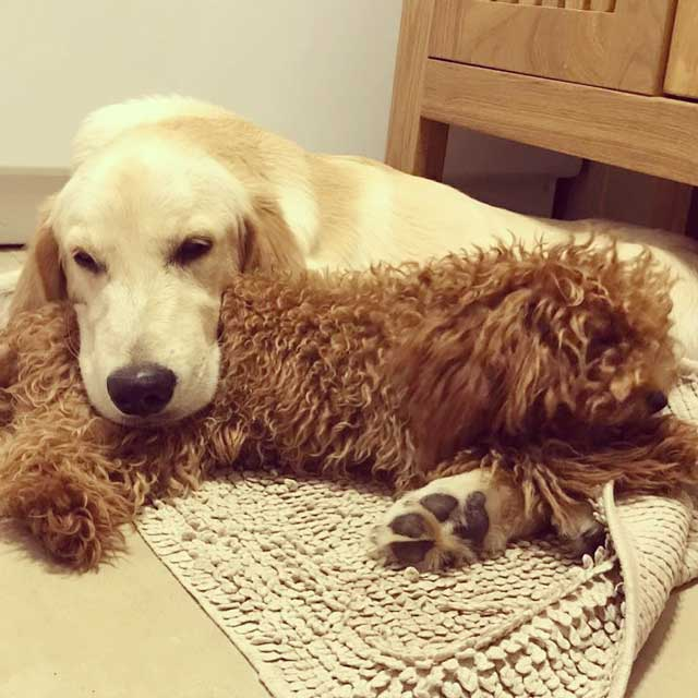 barboncino toy e golden retriever dell'allevamento Maatilayla