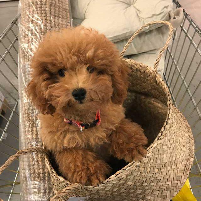 barboncino toy rosso dell'allevamento Maatilayla dentro una cesta in un carrello