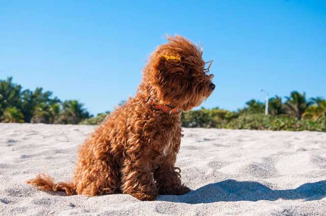 barboncino toy dell'allevamento Maatilayla in spiaggia