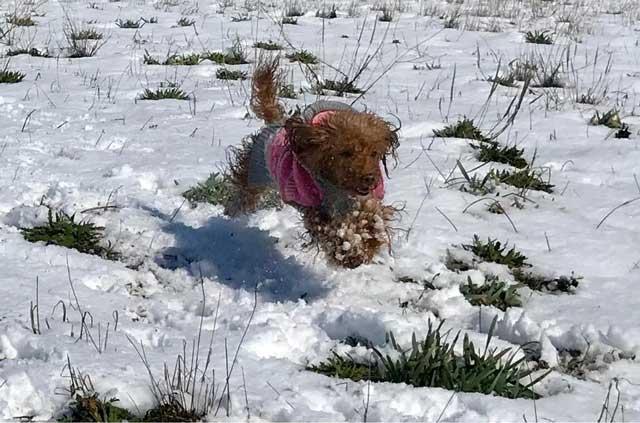 barboncino toy dell'allevamento Maatilayla sulla neve