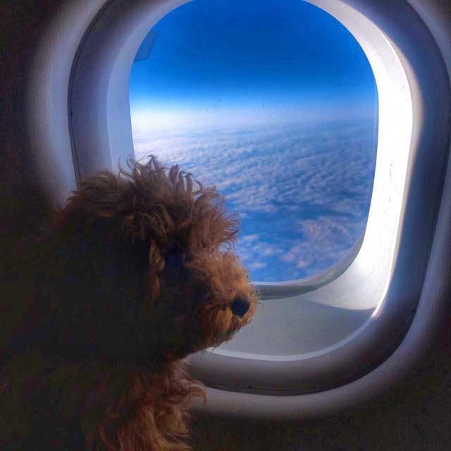 cuccioli di barboncino toy rosso dell'allevamento Maatilayla in aereo