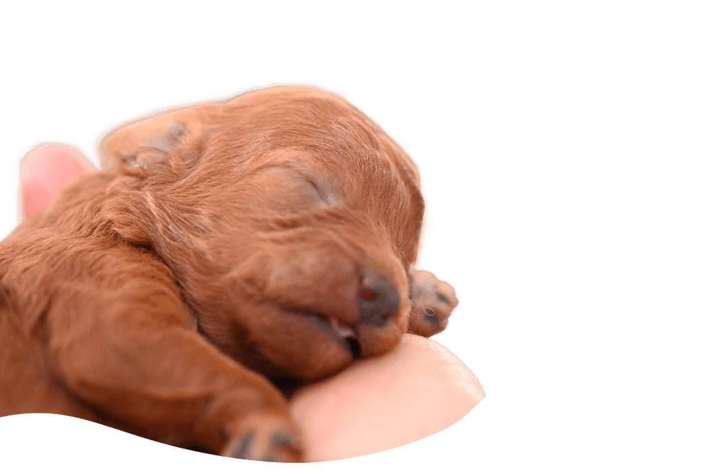 https://allevamentobarboncinimaatilayla.it/wp-content/uploads/2020/09/barboncino-rosso-cucciolo-maatilayla-1.png